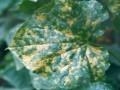 黄瓜霜霉病 (1图)