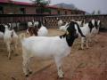 高床养羊新技术高效-农业技术 (38播放)