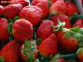 草莓大棚栽培技术-农业技术 (137播放)