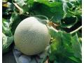 大棚香瓜的高效栽培技术-农业创业 (36播放)