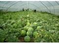 大棚栽培西瓜和苦瓜-农业技术 (41播放)