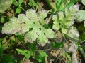 西瓜粘菌病 (1图)