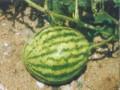 西瓜尖嘴瓜 (1图)