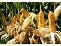 玉米超高产种植技术 (118播放)
