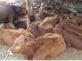 黄牛养殖技术