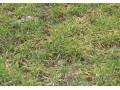 小麦土传花叶病 (1图)
