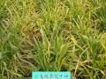 小麦梭条花叶病 (1图)