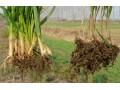 小麦胞囊线虫病 (1图)