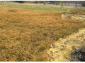 小麦冻害 (1图)