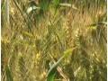 小麦干热风 (1图)