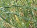 毒麦 (1图)