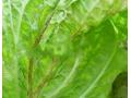 白菜黄萎病 (2图)