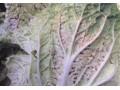 白菜花叶病毒病和坏疽花叶病(环斑) (1图)