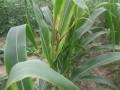 玉米顶尖腐烂病 (1图)