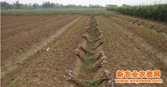 然而,该地区村民却能把两者巧妙地结合起来,既收获了大蒜又种植了花生,而且减少了人力物力,从中节省了成本,增加了经济效益。 田头村村民林海彬告诉笔者,该地区的种植方法是:在收获晚稻后把田犁耙,然后开陇筑高畦首先种下大蒜,大蒜一般要120至130天就能收获,然后在大蒜收获前十天左右便在蒜畦中套种下花生种子,花生种下后几天便开始发芽,不久就长出粉嫩的绿叶,这时要小心将大蒜拔起来集中运回家里晒干销售。大约不够四个月就又开始收获花生。 林海彬说,由于该地区村民种植的都是本地大蒜,这种大蒜个头不大,但很辣,味很纯香