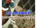 七彩山鸡养殖,养殖技术视频 (65播放)