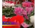 君子兰的种植方法视频介绍 (123播放)