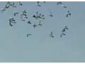 信鸽养殖技术视