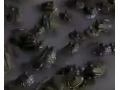 美国青蛙养殖技术视频 (14播放)