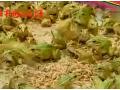 青蛙养殖技术视频 (41播放)