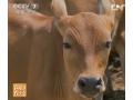 似鹿非鹿 新吴小黄牛吃香-2013年8月20日 《每日农经》 (97播放)