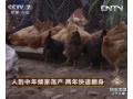 人到中年倾家荡产 养鸡两年快速翻身 (84播放)