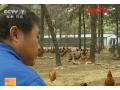 土鸡养殖之保住肥西老母鸡好风味 (11播放)