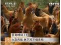 生态养殖鸡 林下鸡不惧市场 (26播放)