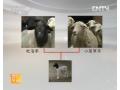 优质肥羔羊生产技术 (29播放)