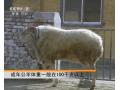 小尾寒羊养殖技术 (106播放)