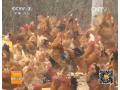 养生态鸡的好路子视频介绍 (42播放)