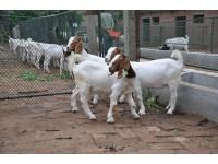 波尔山羊养殖技术视频 (63播放)