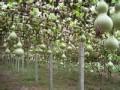 观赏葫芦种子葫芦娃种子招商