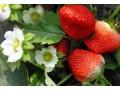 四季草莓种苗