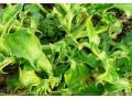 保健蔬菜种子非洲冰草