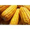 大量供应玉米