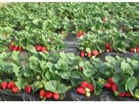 日光温室草莓绿