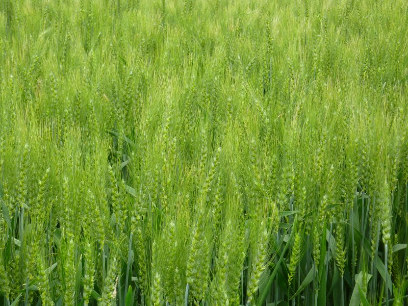 小麦图片 (3图)