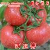 西亚德西红柿种子
