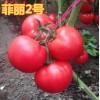 菲丽2号番茄种子西红柿