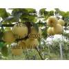 山东黄金梨产地