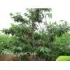 供应3-20公分柿子树、山楂树、杏树、樱桃树、石榴树、李子树