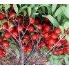 供应文冠苗、花椒苗、核桃苗、钙果苗、黄连木、臭椿、红叶李