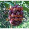 布福娜黑老虎菠萝葡萄种苗现火爆出售,种苗基地直销产量高!!
