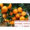 贵州青见苗种植技术,贵州青见苗管理,贵州青见苗规格