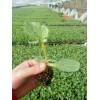 齐河县润裕合作社供应大量小甜瓜嫁接苗,甜瓜种子,绿色无公害