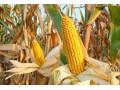 玉米价格涨势放缓 5月玉米价格行情仍处上行通道 目前玉米市场价格已经接近高点