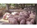 目前生猪价格养猪人还未亏损 2017年养殖户不易追涨杀跌 赚钱为本逢高出栏为宜