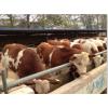 全国肉牛价格,