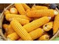 """玉米价格或有高位回落风险 玉米后期可能面临下跌!玉米拍卖走下""""神坛"""""""
